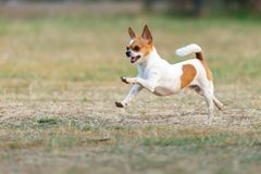 Chihuahua fun happy running outdoors. royalty free stock images