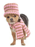 Chihuahua funnily dressed for cold weather. Isolated Royalty Free Stock Photos