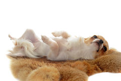 Chihuahua on a fur stock images