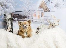 Chihuahua sitting on fur rug in winter scene. Chihuahua on fur rug in winter scene Stock Images