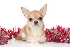 Chihuahua in garlands Royalty Free Stock Image