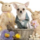 Chihuahua gekleed in denim, 10 maanden oud Royalty-vrije Stock Afbeeldingen