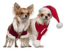 Chihuahua gekleidet in Sankt-Ausstattungen für Weihnachten vor weißem Hintergrund stockbilder