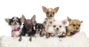 Chihuahua gekleidet und Lügen Stockfotos