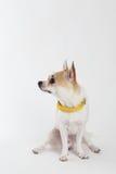 Chihuahua-gelber Kragen lizenzfreie stockfotografie