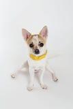 Chihuahua-gelber Kragen lizenzfreie stockbilder