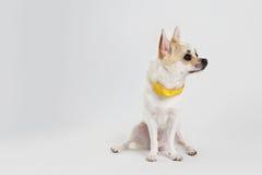 Chihuahua-gelber Kragen stockfoto