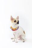 Chihuahua-gelber Kragen Thailand stockfoto