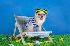 Chihuahua in gestreept vest op vakantie stock foto's
