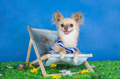 Chihuahua in gestreept vest op vakantie royalty-vrije stock foto's