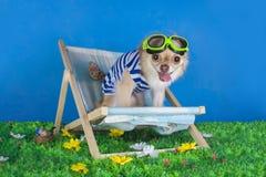 Chihuahua in gestreept vest op vakantie royalty-vrije stock afbeeldingen