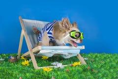 Chihuahua in gestreept vest op vakantie stock afbeelding