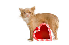 Chihuahua and a gift box Royalty Free Stock Images