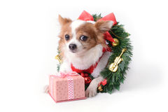 Chihuahua and gift Stock Photography