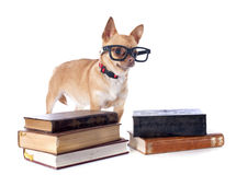 Chihuahua and glasses Royalty Free Stock Photos