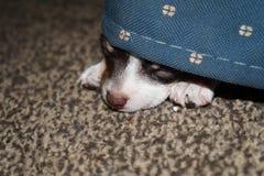 Chihuahua gluurt Royalty-vrije Stock Foto's