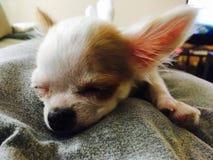 Chihuahua & x22; Gosia& x22; spać Zdjęcie Royalty Free