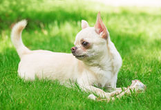 Chihuahua on the grass Stock Photo