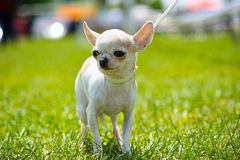 Chihuahua on the grass Royalty Free Stock Image