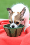 Chihuahua in the grass. 12 weeks old chihuahua in the grass is drinking water Stock Image