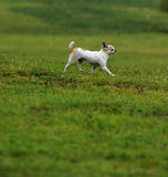 Chihuahua with grassland Royalty Free Stock Photography