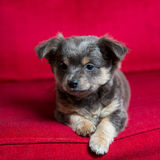 Chihuahua gray long hair puppy dog sitting on red Stock Photos