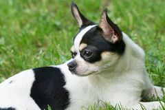 Chihuahua green background Royalty Free Stock Photography