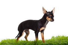 Chihuahua on green gras isolated on white background Stock Images