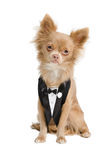 Chihuahua groom wearing dinner jacket Stock Photography