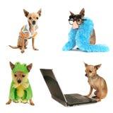 Chihuahua group Stock Photos