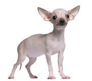 Chihuahua Hairless, 5 mesi, levantesi in piedi fotografia stock