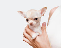 Chihuahua in a hand Stock Photos