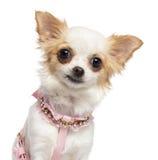 Chihuahua, harness rosado de 1 año, que desgasta Fotos de archivo