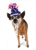 Chihuahua with a hat on Stock Photography