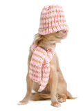 Chihuahua with hat and scarf Royalty Free Stock Images