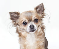 Chihuahua head  Stock Photo
