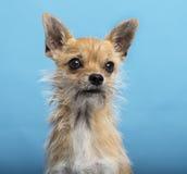 Chihuahua, Headshot, blauer Hintergrund Lizenzfreie Stockfotografie