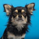 Chihuahua, Headshot, blauer Hintergrund Stockfoto