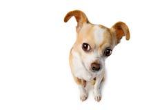 Chihuahua heben Ohr an, um heimlich zuzuhören Lizenzfreie Stockfotografie