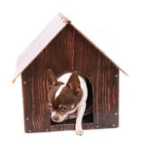 Chihuahua and her home Stock Photography
