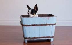 Chihuahua hiding in a blue wood box Stock Image