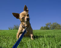 Chihuahua on a hill Royalty Free Stock Photos