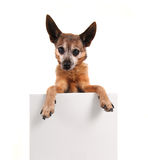 A chihuahua holding a blank sign Royalty Free Stock Photos