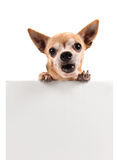 A chihuahua holding a blank sign Stock Photos