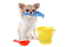 Chihuahua in holidays Stock Images
