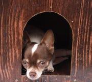 Chihuahua at home Royalty Free Stock Image