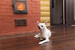 Chihuahua in home Stock Images