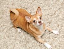 Chihuahua Hua Dog Sits Stock Images