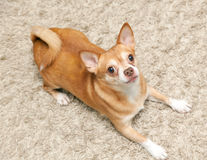 Chihuahua hua dog sits Stock Images