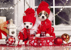 Chihuahua hua puppy  in Christmas decorations Stock Image